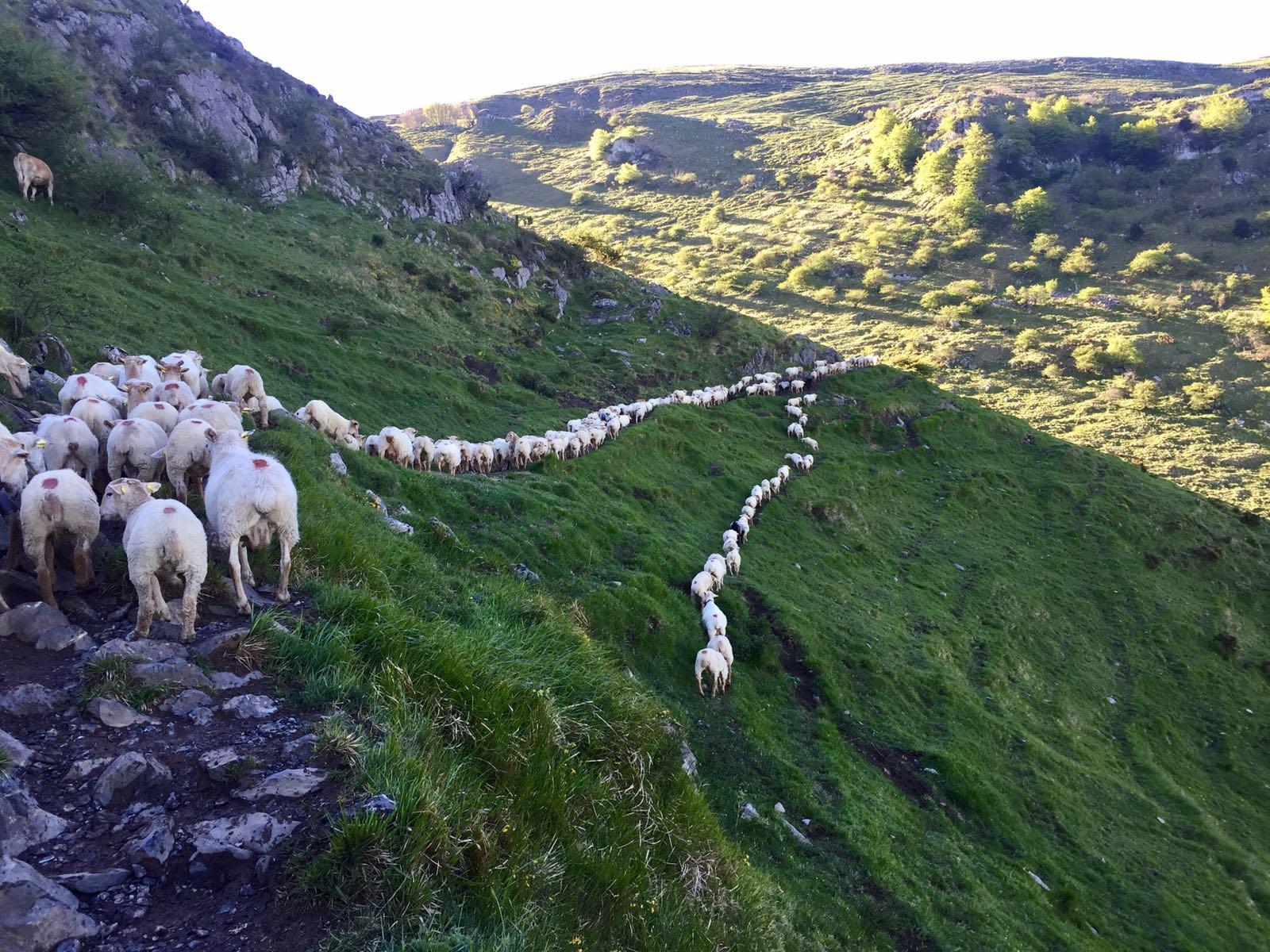 Este año, los ganaderos de Aralar no tienen ningún motivo para celebrar el 1 de Mayo